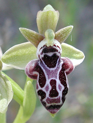 Ophrys kotschyi group