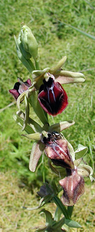 Ophrys sphegodes ssp mammosa whole