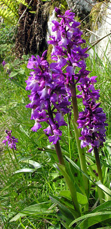Orchis mascula group