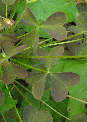 Oxalis stricta leaves