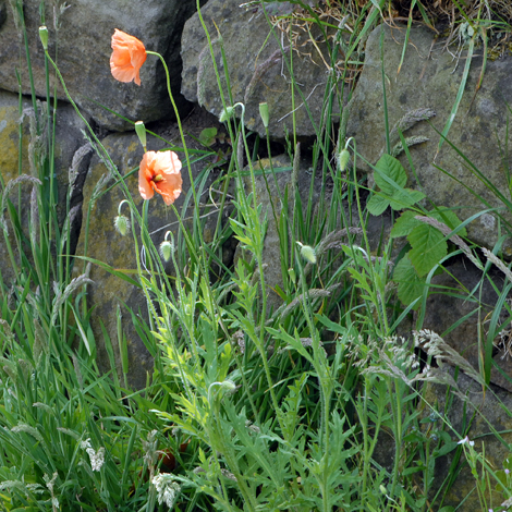 Papaver dubium whole