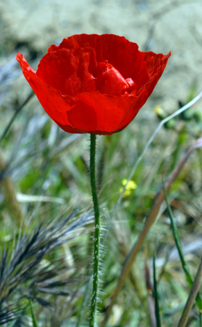 Papaver rhoeas close Europe