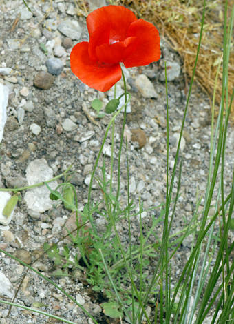 Papaver rhoeas whole Europe