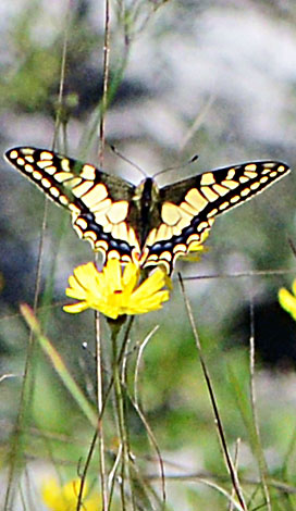 Papillon machaon Italy