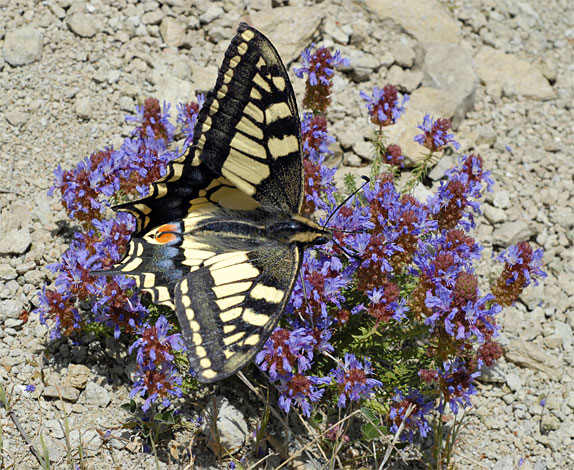 Papillon machaon Spain