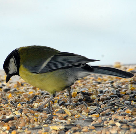 Parus major Great Tit table