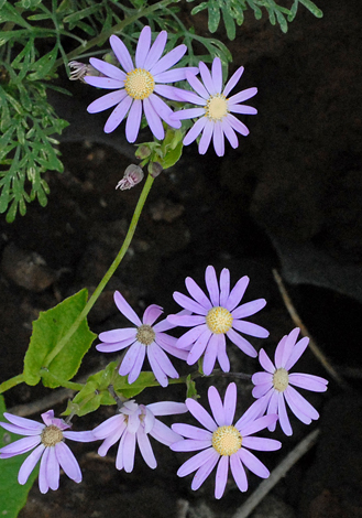 Pericallis tussilaginis close