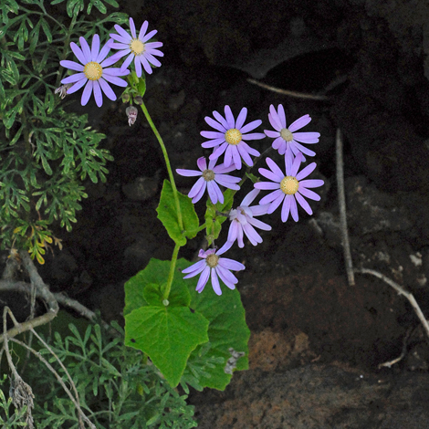 Pericallis tussilaginis whole
