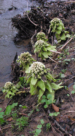 Petasites japonicus group