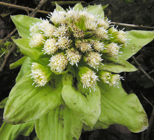 Petasites japonicus single