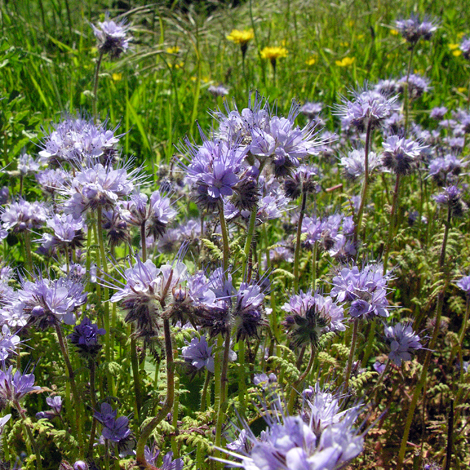 Phacelia tanacetifolia whole