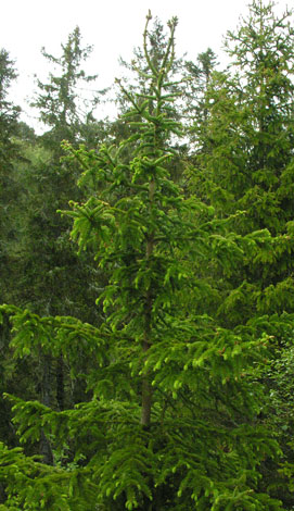 Picea abies whole