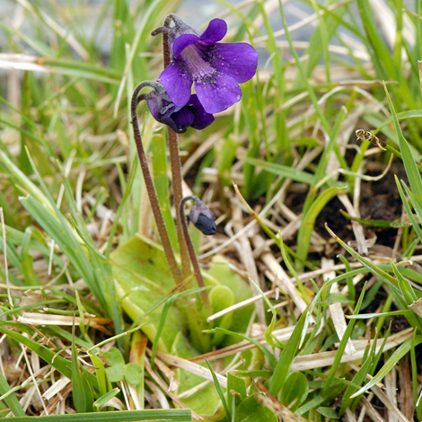 Pinguicula grandiflora Pyrenees whole