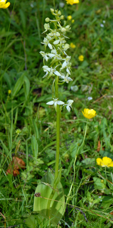 Platanthera chlorantha whole