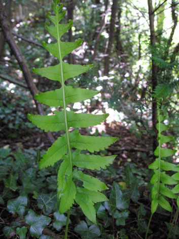 Polypodium sp