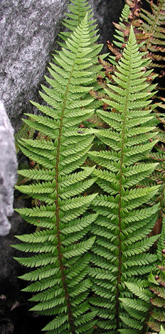 Polystichum aculeatum close