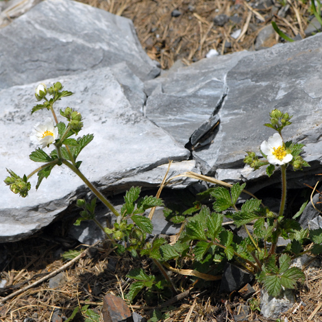 Potentilla rupestris Pyrenees whole