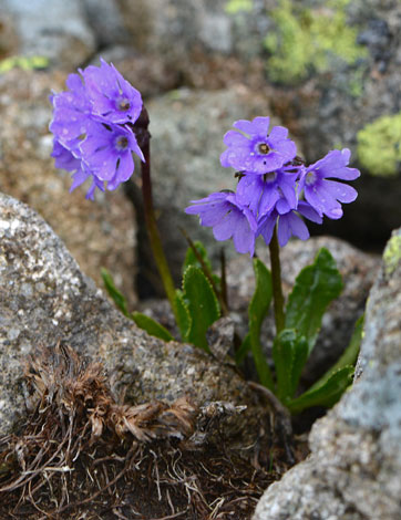 Primula glutinosa close