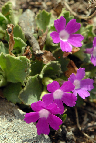 Primula hirsuta close