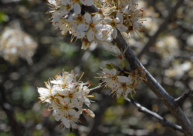 Prunus spinosa Spain close