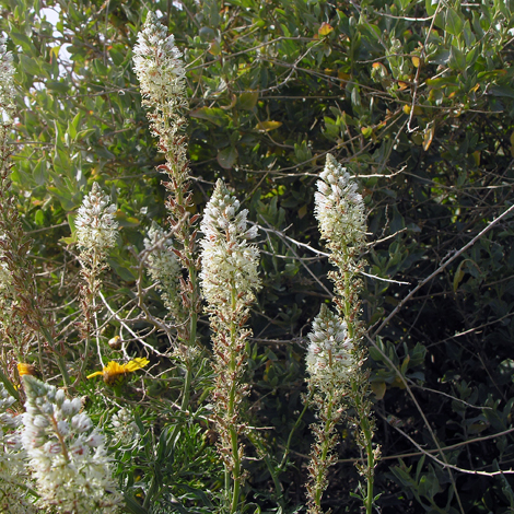 Reseda alba whole Gozo