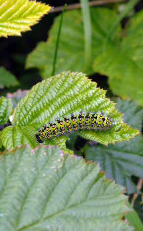Rubus rivingtoniensis with caterpillar