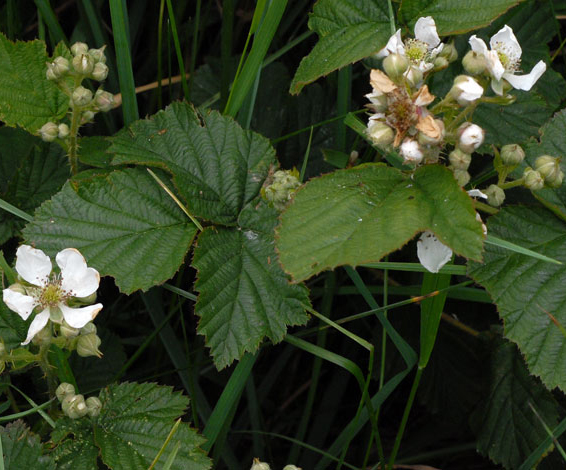 Rubus rivingtoniensis whole