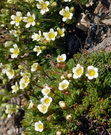 Saxifraga exarata close