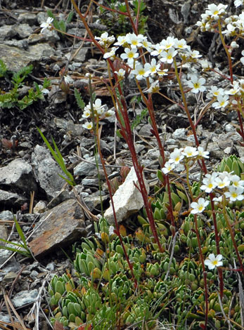 Saxifraga paniculata close