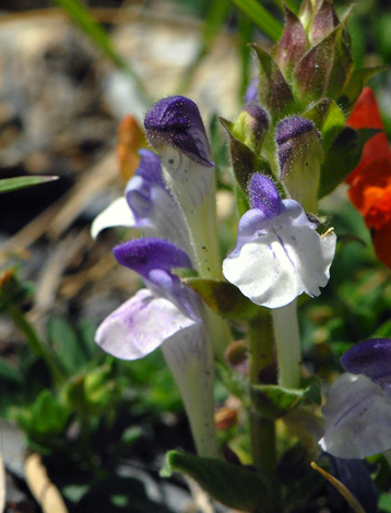 Scutellaria alpina close