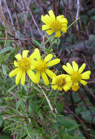 Senecio inaequidens close
