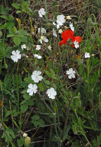 Silene latifolia whole