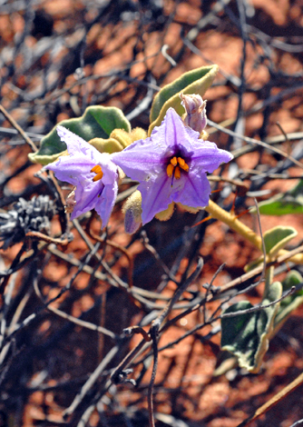 Solanum lasiophyllum close