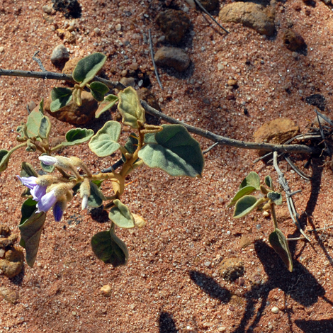 Solanum lasiophyllum whole