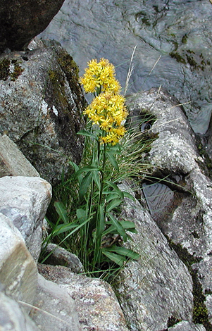 Solidago virgaurea whole