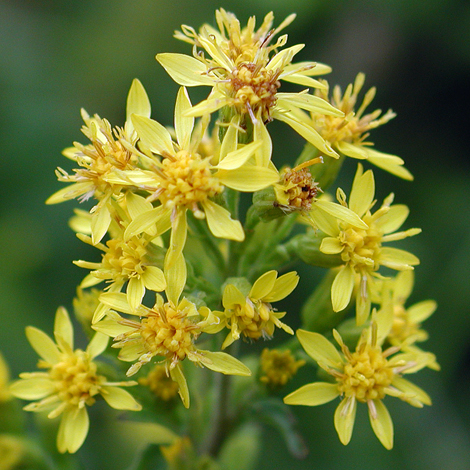Solidago virgaurea close