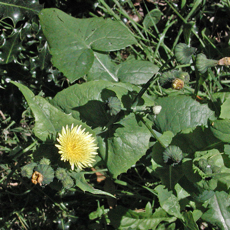 Sonchus oleraceus whole