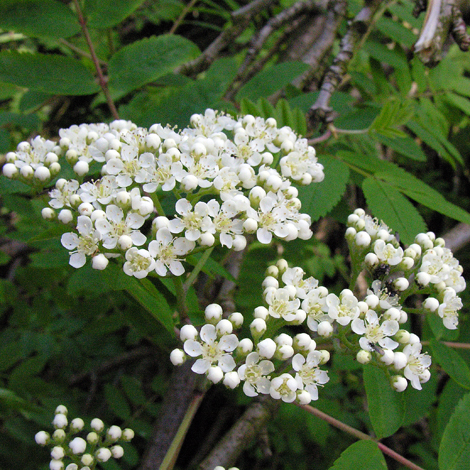 Sorbus acuparia flowers
