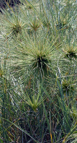 Spinifex hirsutus close
