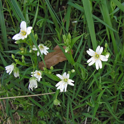 Stellaria holostea whole