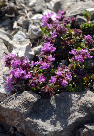 Thymus polytrichus close