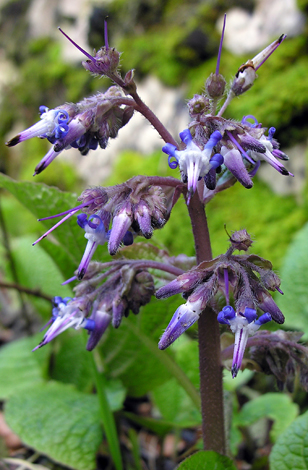 Trachystemon orientalis close