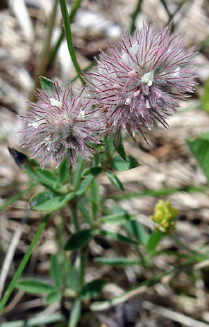 Trifolium arvense close