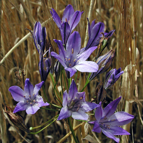 Triteleia laxa whole
