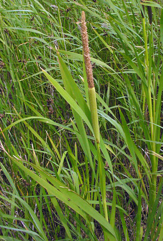 Typha latifolia close