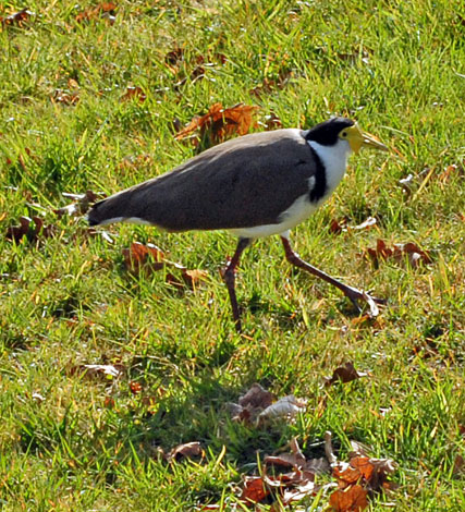 Vanellus miles masked lapwing side