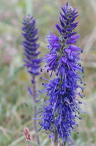 Veronica spicata close