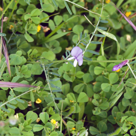 Vicia peregrina whole
