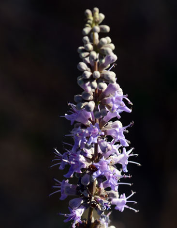 Vitex agnus-castus close