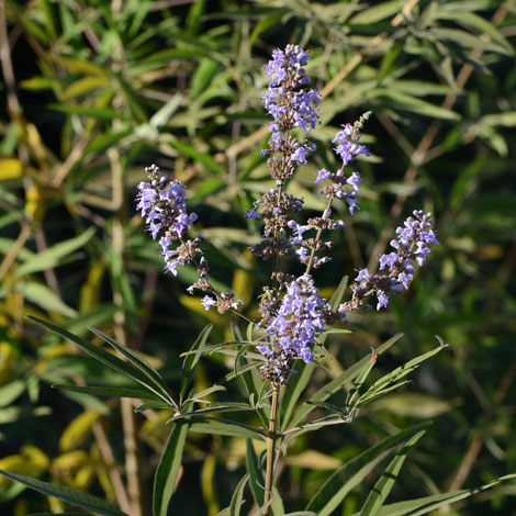 Vitex agnus-castus whole